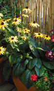 pflanzenportrait rudbeckia fulgida sonnenhut. Black Bedroom Furniture Sets. Home Design Ideas